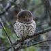 Strigidae - Photo (c) Peter Thompson, μερικά δικαιώματα διατηρούνται (CC BY-NC)