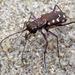 Cicindela sedecimpunctata - Photo (c) David Bygott, algunos derechos reservados (CC BY-NC-SA)