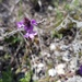 Verbena intermedia - Photo (c) Diego, some rights reserved (CC BY-NC)