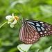Ideopsis similis - Photo (c) sunnetchan, algunos derechos reservados (CC BY-NC-SA)