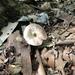 Agaricus leptocaulis - Photo (c) Ron Kerner, μερικά δικαιώματα διατηρούνται (CC BY-NC)