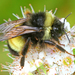 Yellow-banded Bumble Bee - Photo (c) Denis Doucet, some rights reserved (CC BY-NC)