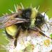 Bombus terricola - Photo (c) Denis Doucet, algunos derechos reservados (CC BY-NC)