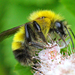 Perplexing Bumble Bee - Photo (c) Denis Doucet, some rights reserved (CC BY-NC)