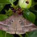 Small Mocis Moth - Photo (c) Marc AuMarc, some rights reserved (CC BY-NC-ND)