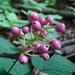 Actaea × ludovicii - Photo no hay derechos reservados