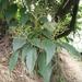 Cornus macrophylla macrophylla - Photo (c) changlu, algunos derechos reservados (CC BY-NC)