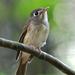 Muscicapa muttui - Photo (c) David Cook Wildlife Photography, algunos derechos reservados (CC BY-NC)