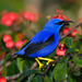 Purple Honeycreeper - Photo (c) greglasley, some rights reserved (CC BY-NC), uploaded by Greg Lasley