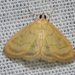 Pale-winged Crocidophora Moth - Photo (c) Andy Reago & Chrissy McClarren, some rights reserved (CC BY)