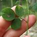 Desmodium marilandicum - Photo (c) Vanessa Voelker,  זכויות יוצרים חלקיות (CC BY-NC)