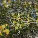 Quercus × pauciloba - Photo (c) Bill Gray,  זכויות יוצרים חלקיות (CC BY-NC)
