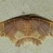 Chrysocraspeda iole - Photo (c) dhfischer, osa oikeuksista pidätetään (CC BY-NC)