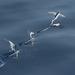 Volador Blanquito - Photo (c) Andrew Dreelin, algunos derechos reservados (CC BY-NC)