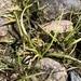 Littorella americana - Photo (c) Samuel Brinker, algunos derechos reservados (CC BY-NC)