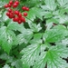 Red Baneberry - Photo (c) Tom Norton, some rights reserved (CC BY-NC)