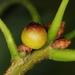 Callirhytis balanacea - Photo (c) Jason Michael Crockwell, osa oikeuksista pidätetään (CC BY-NC-ND)
