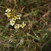 Pale Yellow-eyed Grass - Photo (c) James Bailey, some rights reserved (CC BY-NC)
