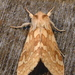 Spotted Tussock Moth - Photo (c) Dick, some rights reserved (CC BY-NC-SA)