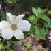 Cornus nuttallii - Photo (c) Morgan Stickrod, alguns direitos reservados (CC BY-NC)