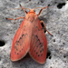 Miltochrista - Photo (c) Drinker Moth, some rights reserved (CC BY-NC-SA)