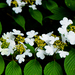 Viburnum plicatum formosanum - Photo (c) Bahamut Chao,  זכויות יוצרים חלקיות (CC BY-NC-ND)