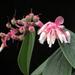 Cavendishia pubescens - Photo (c) Sebastián Berrío, some rights reserved (CC BY-NC)