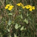 Yellow-Wort - Photo (c) James Bailey, some rights reserved (CC BY-NC)