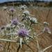 Eryngium jepsonii - Photo (c) randomtruth, algunos derechos reservados (CC BY-NC-SA)