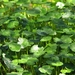 Floating Marsh Pennywort - Photo (c) Noël Zia Lee, some rights reserved (CC BY)
