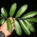 Cupania - Photo (c) Daniel H. Janzen. Guanacaste Dry Forest Conservation Fund., algunos derechos reservados (CC BY-NC-SA)