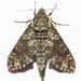Dolba hyloeus - Photo (c) David Dodd, algunos derechos reservados (CC BY)