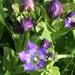 Gentiana plurisetosa - Photo (c) jenniferkalt, algunos derechos reservados (CC BY-NC)
