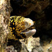 Echidna Morays - Photo (c) Glen Whisson, some rights reserved (CC BY-NC)