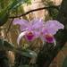 Flor de Mayo - Photo (c) johnwilmar, algunos derechos reservados (CC BY-NC)