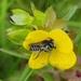 Megachile brevis - Photo (c) Pinecone Priestest, algunos derechos reservados (CC BY-NC)