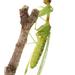 Moscas Mantis - Photo (c) A. Jaszlics, algunos derechos reservados (CC BY-NC)