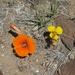 Lirio Mariposa del Desierto - Photo (c) Jim Morefield, algunos derechos reservados (CC BY)