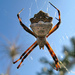 Silver Garden Orbweaver - Photo (c) Eduardo Dios, some rights reserved (CC BY-NC-SA)