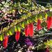 Agapetes serpens - Photo (c) Phil Bendle, algunos derechos reservados (CC BY-NC)