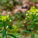 Glade Spurge - Photo (c) Tom Potterfield, some rights reserved (CC BY-NC-SA)