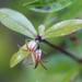 Pittosporum pimeleoides pimeleoides - Photo (c) Bill Campbell, osa oikeuksista pidätetään (CC BY-NC)