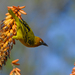 Cape Weaver - Photo (c) Martin Heigan, some rights reserved (CC BY-NC-ND)