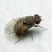 Drosophila repleta - Photo (c) Matt Claghorn, algunos derechos reservados (CC BY-NC)
