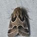 Schinia rivulosa - Photo (c) Andy Reago & Chrissy McClarren, algunos derechos reservados (CC BY)