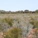 Eucalyptus polybractea - Photo (c) James Bailey, osa oikeuksista pidätetään (CC BY-NC)