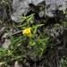Melampyrum sylvaticum - Photo (c) Conrad Altmann, alguns direitos reservados (CC BY)