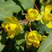 Berberis nevinii - Photo (c) James Gaither, algunos derechos reservados (CC BY-NC-ND)