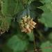 Ampelomyia vitiscoryloides - Photo (c) Cassi Saari, μερικά δικαιώματα διατηρούνται (CC BY-NC), uploaded by cassi saari