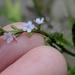 Verbena scabra - Photo (c) Alison Northup, algunos derechos reservados (CC BY)